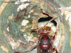 1 - Vespa crabro crabro