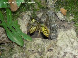 Nid souterrain Vespula vulgaris 2