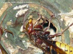 2 - Vespa crabro crabro