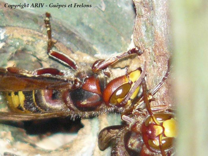 4 - Vespa crabro crabro