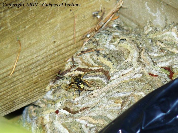 Ouvrière de Dolichovespula saxonica sur le nid