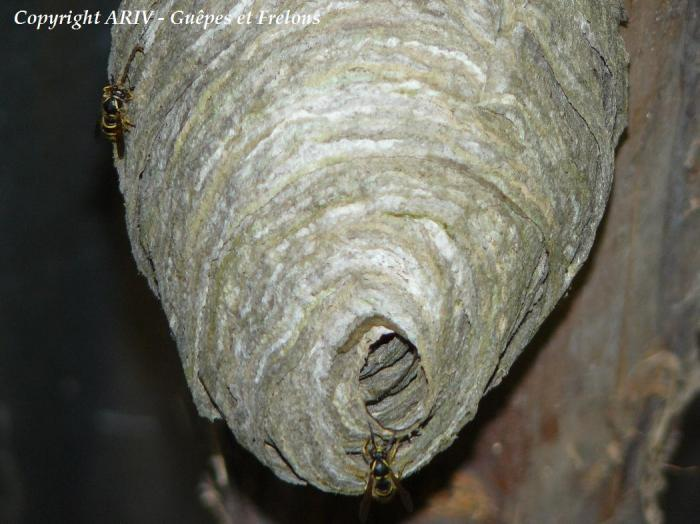 Entrée du nid de Dolichovespula saxonica