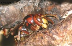femelle reproductrice Vespa crabro