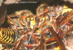 mélée mâles Vespa crabro 1