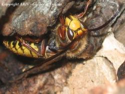 mâle Vespa crabro 2