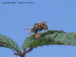Polistes dominulus capture