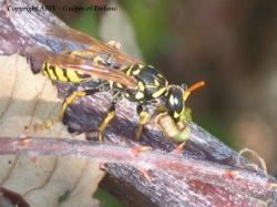 chasse Polistes 1