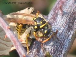 chasse Polistes 2
