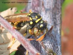 chasse Polistes 3