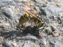 Vespula germanica opportuniste