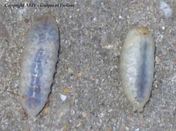 Détail larves