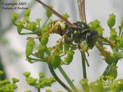 fleurs Polistes dominulus 2