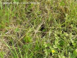 entrée nid Vespula vulgaris