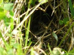 jeune nid Vespula vulgaris