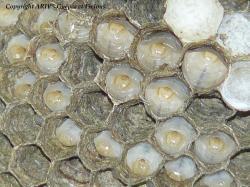 larves D.saxonica 2