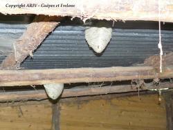 nids Dolichovespula saxonica