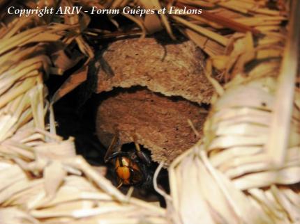 fnid primaire frelon asiatique