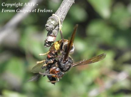 proie vespa velutina frelon asiatique