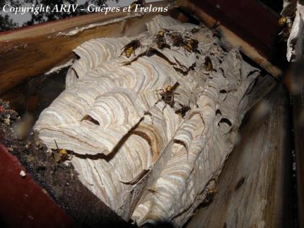 frelon européen vespa crabro