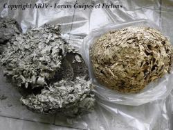 nids de guêpes Vespula