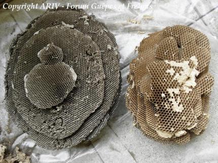 nids vespula