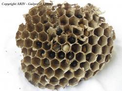 larve 1