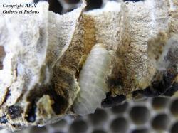 larve 2